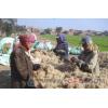 供应 直销埃及纯天然亚麻